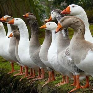 комбикорм для гусей