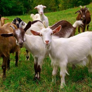 комбикорм для коз