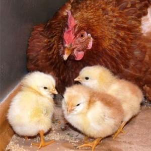 комбикорм для цыплят